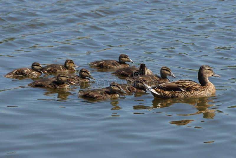 Eine große braune Ente und kleinen Entlein schwimmen über dem Wasser lizenzfreie stockbilder