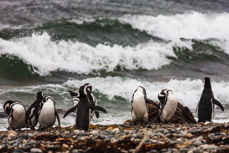 Eine große Gruppe Magellanic-Pinguine auf einem Pebble Beach lizenzfreie stockfotos