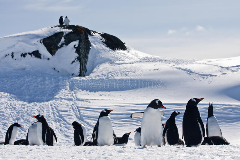 Eine große Gruppe Pinguine lizenzfreie stockfotos