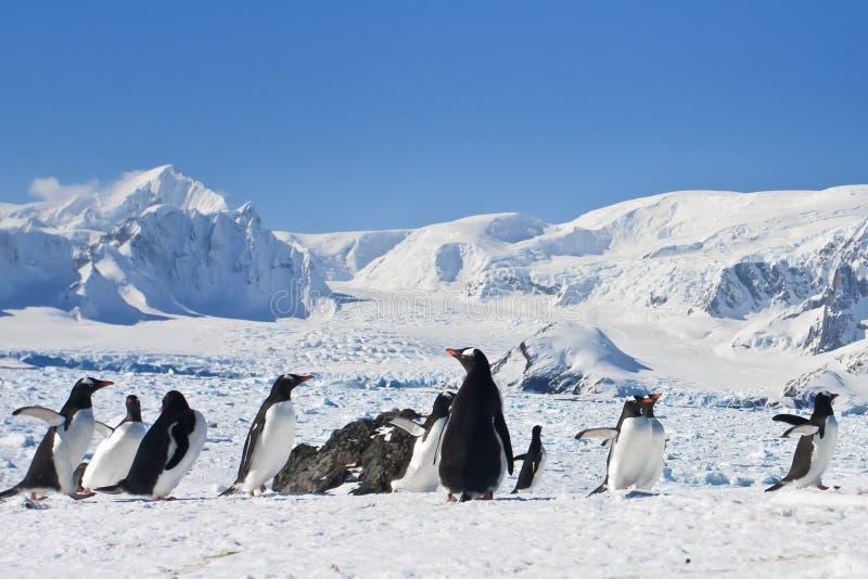 Eine große Gruppe Pinguine lizenzfreies stockfoto