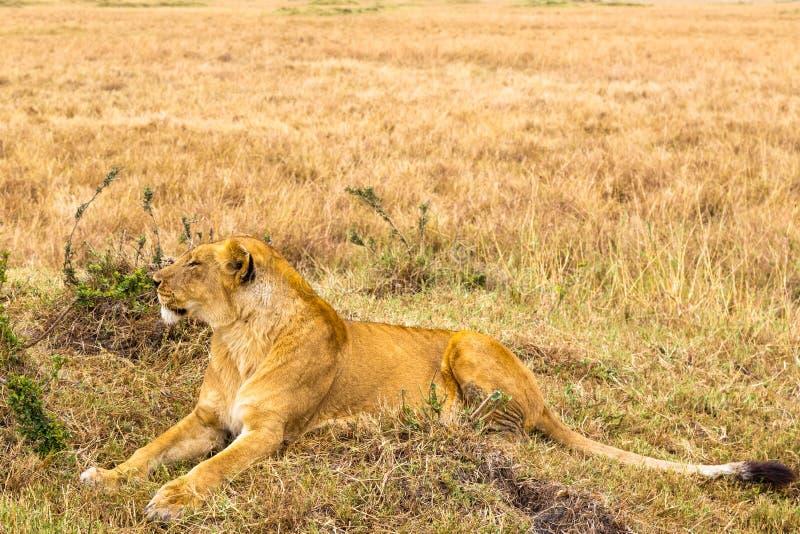 Eine große Löwin liegt auf dem Gras Masai Mara, Afrika lizenzfreie stockbilder
