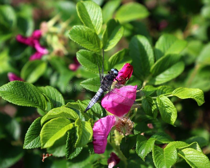 Eine große Libelle und eine wilde rosafarbene Blume lizenzfreies stockfoto
