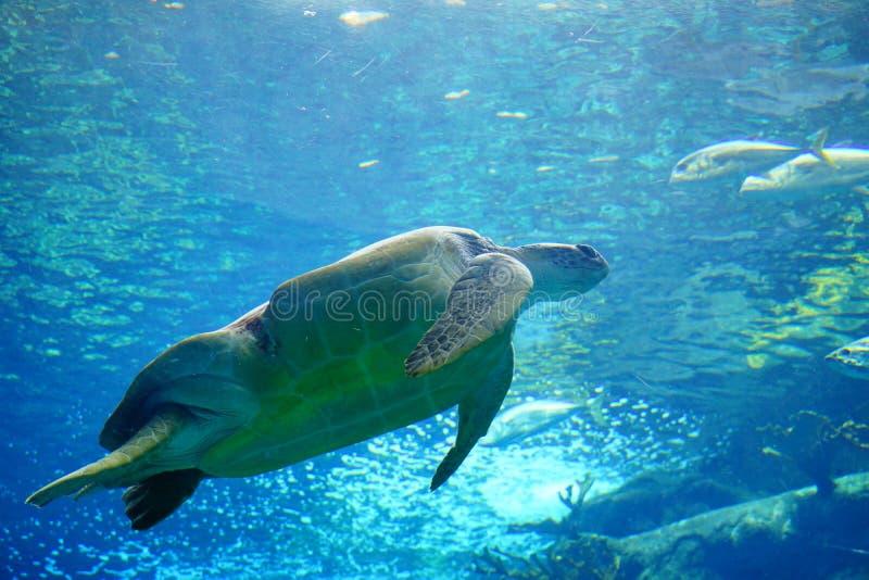 Eine große Meeresschildkröte schwimmt lizenzfreie stockfotografie