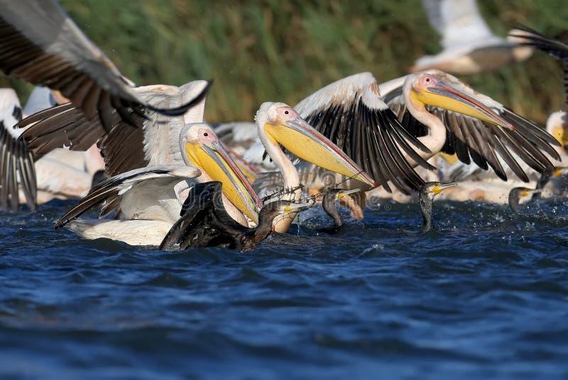 Eine große Menge von weißen Pelikanen und von Kormoranen, die zusammen Fische fangen lizenzfreie stockfotografie