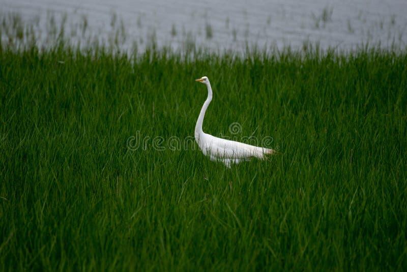 Eine große Reiherstellung im grünen Sumpfgras, während es regnet lizenzfreie stockfotos