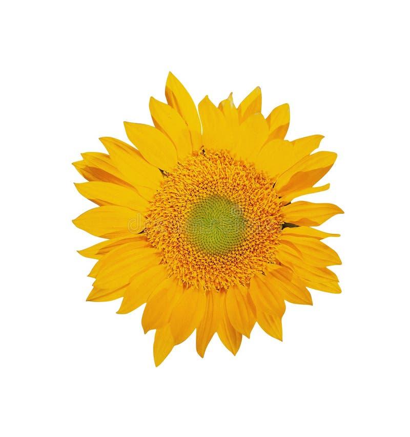 Eine große Sonnenblume rund stockbild