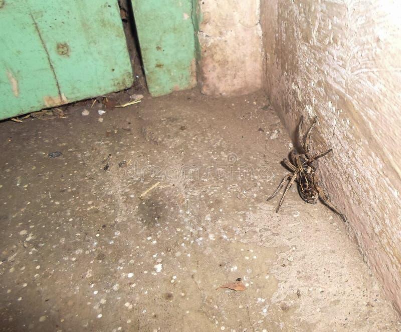 Eine große Spinne innerhalb des Hauses lizenzfreie stockfotos
