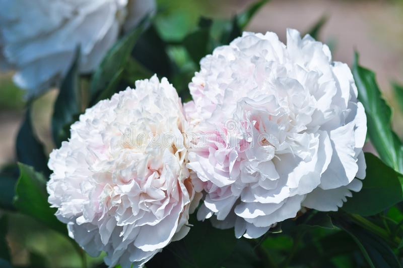 Eine große weiße Pfingstrosenblume in der Nahaufnahme lizenzfreies stockbild