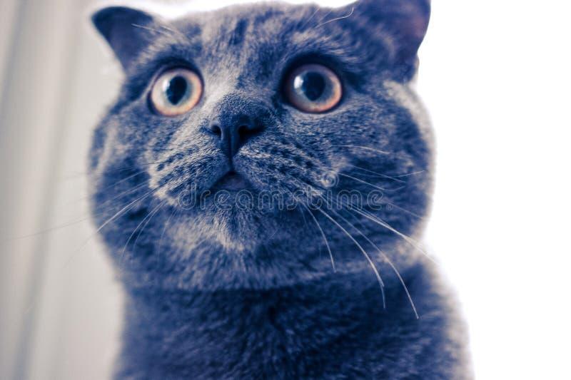 Eine große Katze, Katze mit gelben Augen, Nahaufnahme der Katze, runde Augen der Katze stockfotos