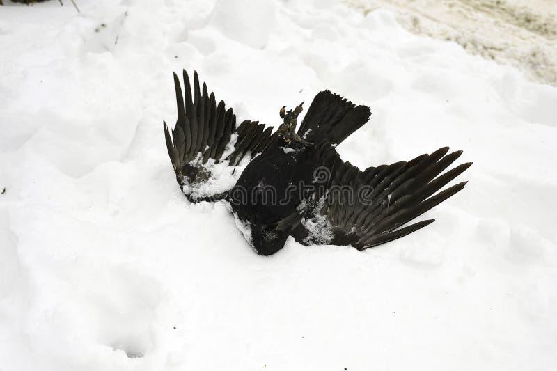 Eine gro?e schwarze Kr?he liegt auf seiner zur?ck im Schnee stockfoto