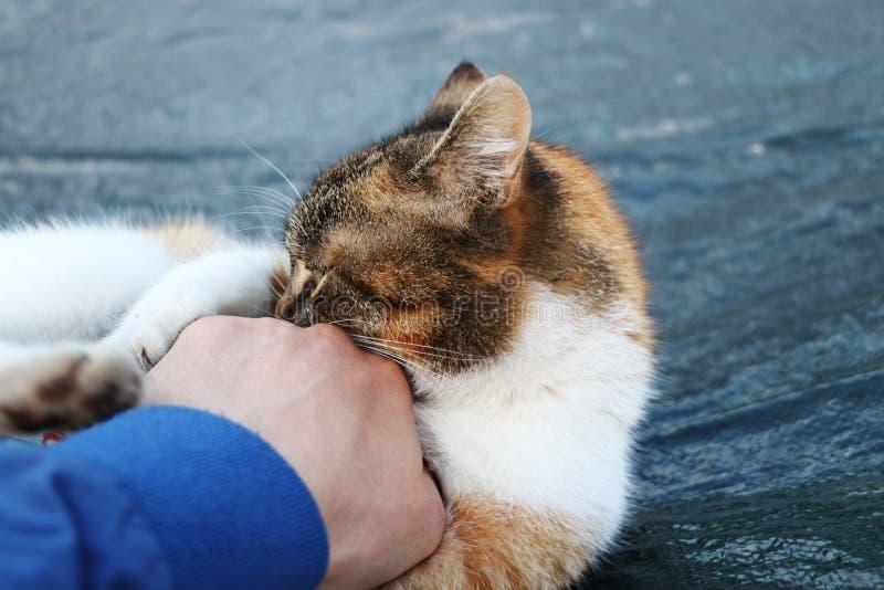 Eine grobe Hauskatze nahm meine Hand in Angriff Sie spielend als Katze und Maus stockfoto