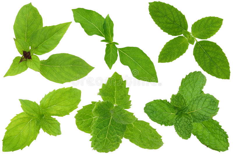 Eine Gruppe Basilikum und tadellose Blätter lokalisiert auf Weiß lizenzfreie stockfotos