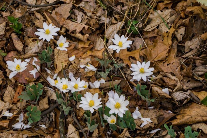 Eine Gruppe Bloodroot-Blume lizenzfreies stockfoto
