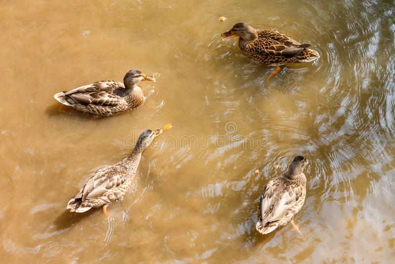 Eine Gruppe braune Enten, die in einem Fluss schwimmen lizenzfreies stockfoto