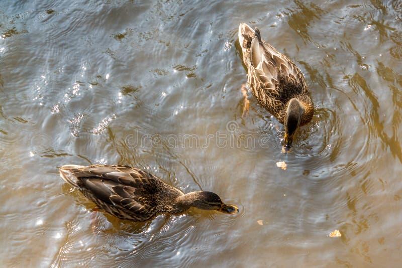 Eine Gruppe braune Enten, die in einem Fluss schwimmen lizenzfreies stockbild
