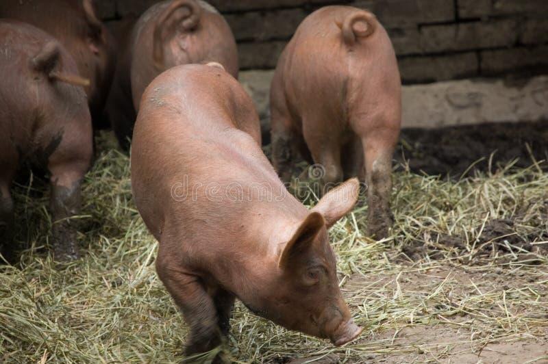 Eine Gruppe Ferkel auf einer Schweinezüchterei lizenzfreies stockfoto