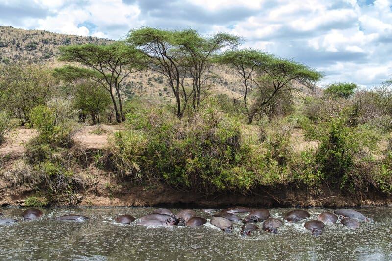 Eine Gruppe Flusspferde lizenzfreies stockbild