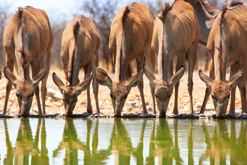 Eine Gruppe 5 Frau kudu trinkend an einem waterhole mit Reflexion im Wasser lizenzfreie stockfotos