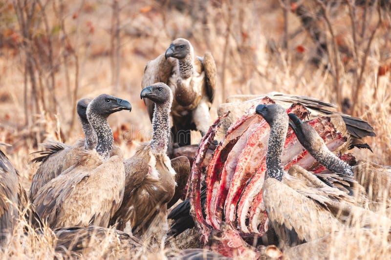 Eine Gruppe Geier, die auf eine Tötung einziehen stockbild
