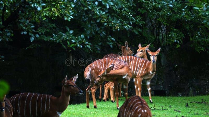 Eine Gruppe gestreifte Antilopen nannte Bongo stockfoto