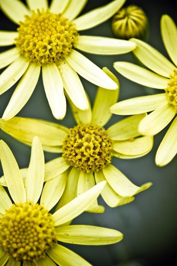 Eine Gruppe helle gelbe Arnika lizenzfreies stockfoto