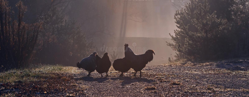Eine Gruppe Hennen, ein früher Morgen im Herbst stockfoto