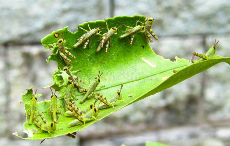 Eine Gruppe Heuschrecken-Babys stockbilder