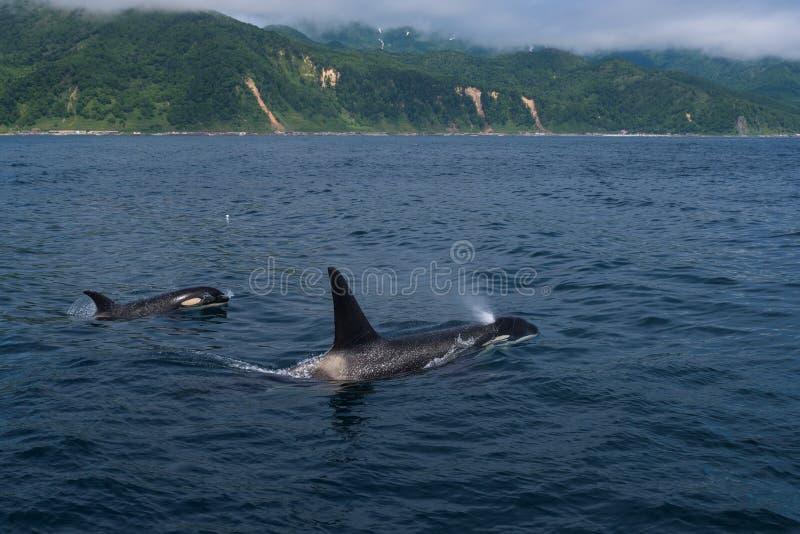 Eine Gruppe Killerwale, die im Meer von Ochotsk nahe der Shiretoko-Halbinsel schwimmen stockfotografie