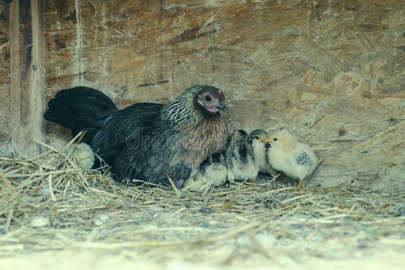 Eine Gruppe kleine nette Küken geht in das Hühnerhaus Schließen Sie oben von buntem wenige Tagesalte Hühner mit ihrer Mutter in e lizenzfreie stockfotos