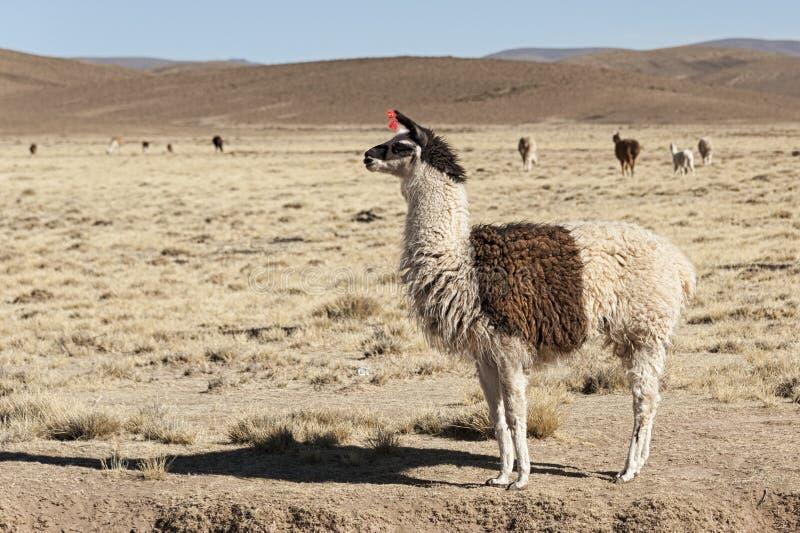 Eine Gruppe Lamaalpaka weiden lassend in den Hochländern in der schönen Landschaft der Anden-Berge - Bolivien lizenzfreie stockfotos