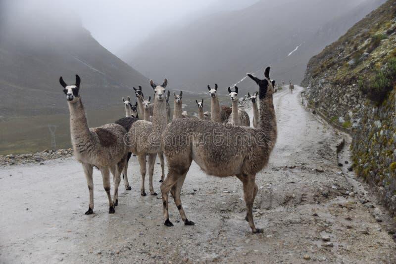 Eine Gruppe Lamas zwischen dem Nebel lizenzfreies stockfoto