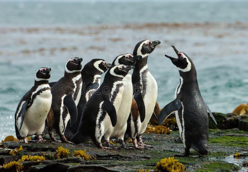 Eine Gruppe Magellanic-Pinguinversammlung auf einer felsigen Küste von Falklan stockfotografie