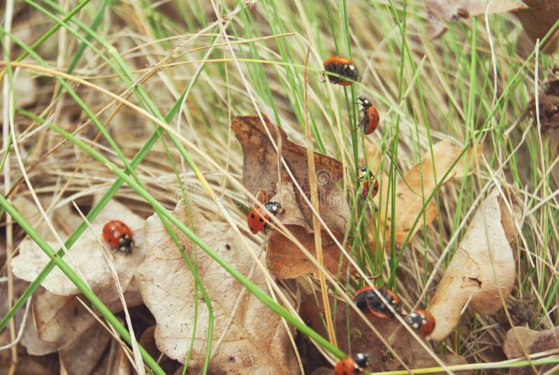 Eine Gruppe Marienkäfer auf dem Gras stockfoto