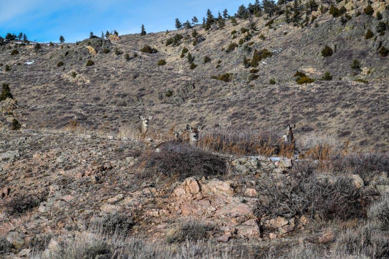 Eine Gruppe Maultierhirsche tut nahe Wheatland, WY lizenzfreies stockfoto