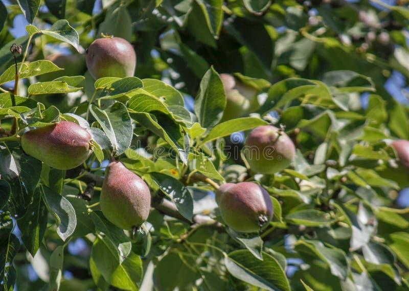 Eine Gruppe reife gesunde gelbe und grüne Birnen, die auf einem Birnenbaumast, in einem echten Biogarten wachsen Nahaufnahme lizenzfreies stockbild