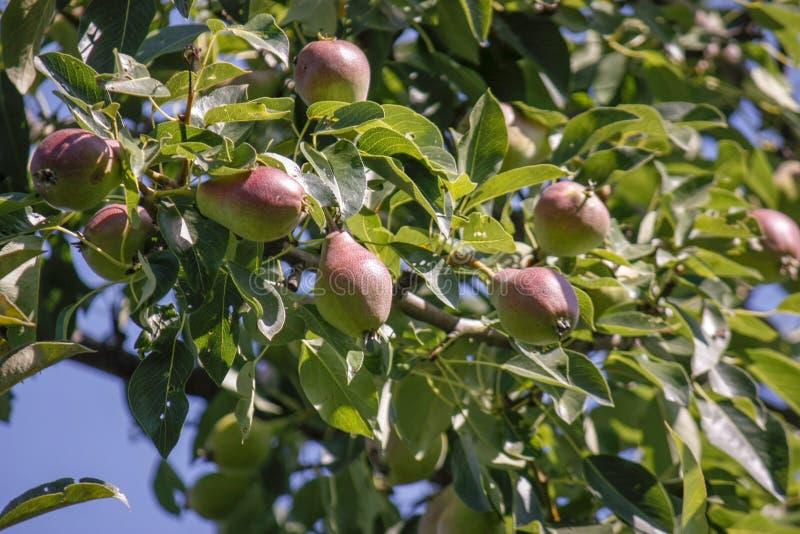 Eine Gruppe reife gesunde gelbe und grüne Birnen, die auf einem Birnenbaumast, in einem echten Biogarten wachsen Nahaufnahme lizenzfreie stockfotos