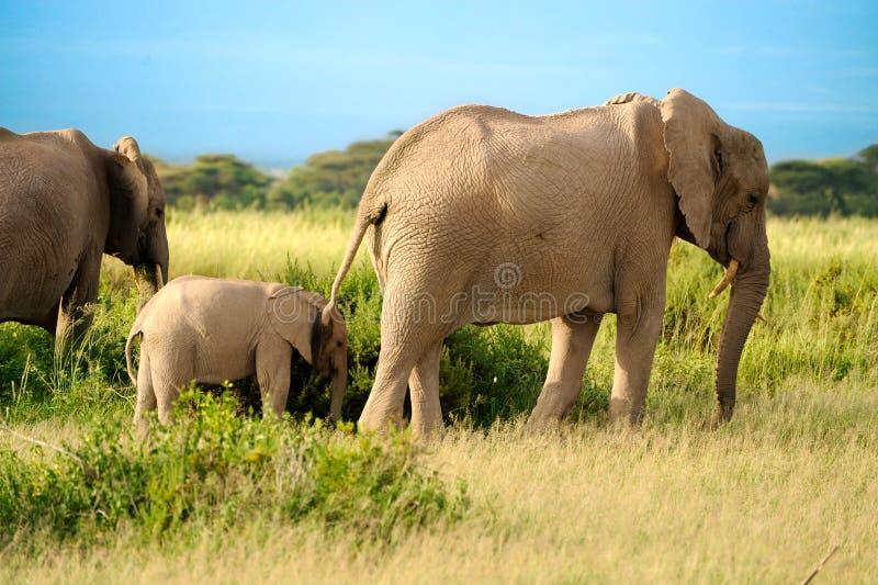 Eine Gruppe Savanneelefanten mit ihren Schätzchen. stockbilder