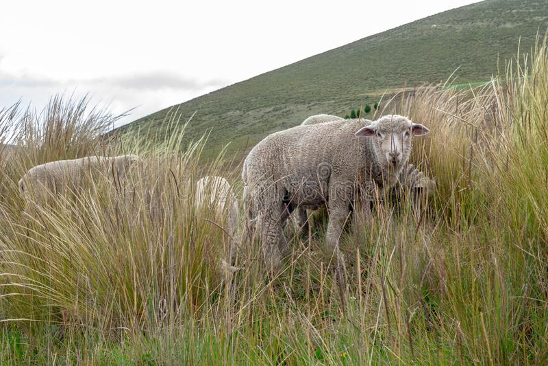 Eine Gruppe Schafe lässt weiden und geht durch das Feld stockfoto