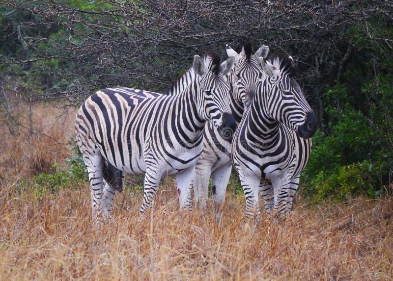 Eine Gruppe von drei Zebras mit ihren Unterscheidungszeichen stockbilder
