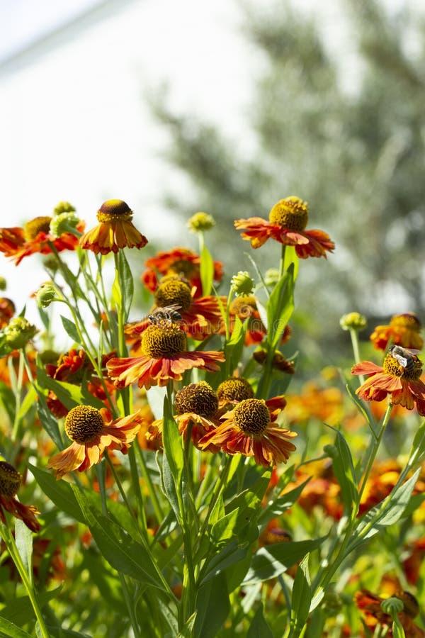 Eine Gruppe von Helenium in der Natur, multi-geblühter Asterblumengarten Heleniumblütenknospen von Blumen, Herbstgartenblumen der stockbild