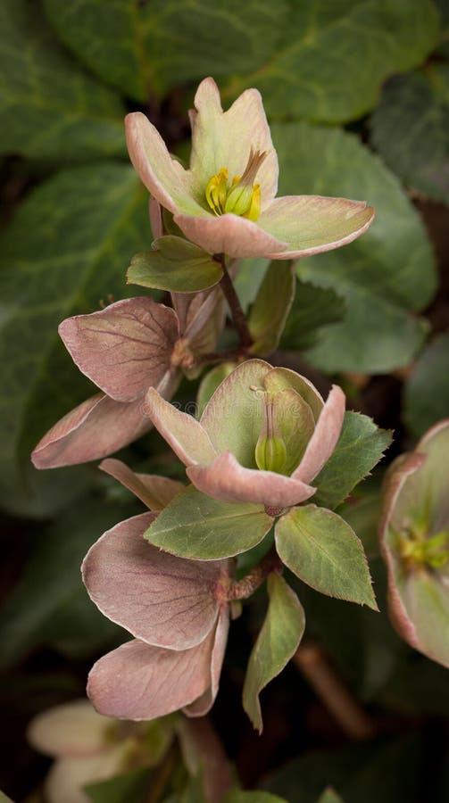 Eine Gruppe von Lenten Rosen-Blüten sind leicht Purpur und Rosa lizenzfreie stockfotos