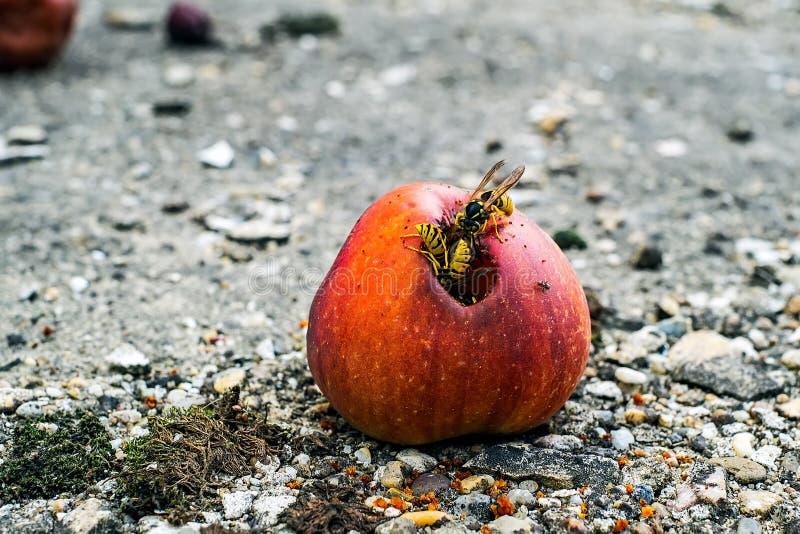 Eine Gruppe Wespen, die von einem faulen Apfel essen stockfotografie