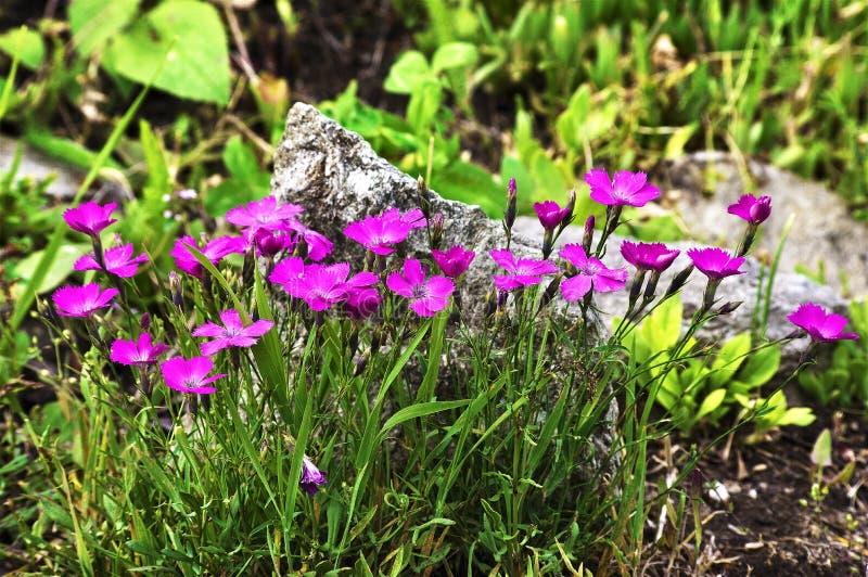 Eine Gruppe wilde Gartennelken in der Natur stockbilder