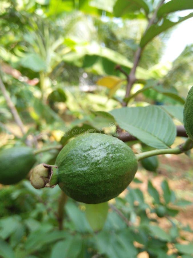 Eine Guajava-Frucht von einem Hinterhofgarten stockfoto