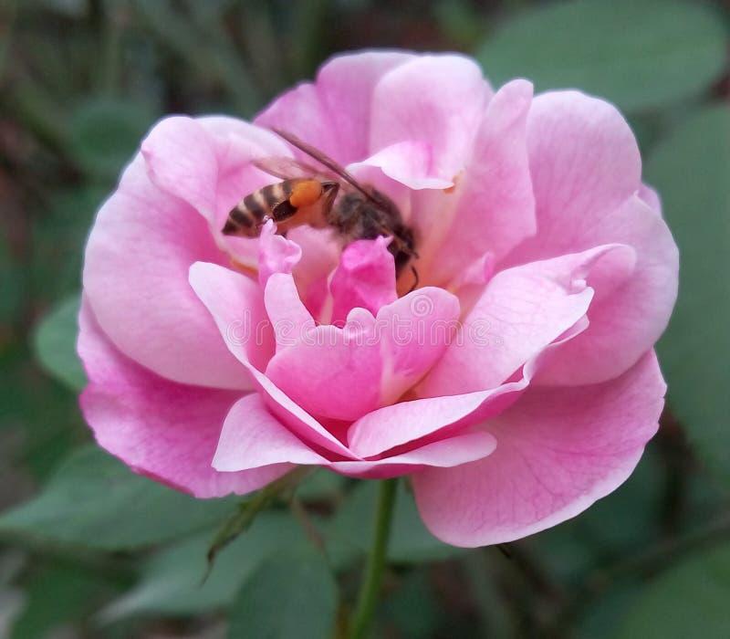 Eine gute Freundschaft zwischen rosafarbenem abd sehen stockbild