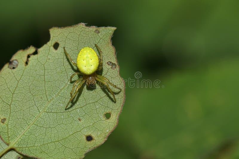 Eine hübsche Gurken-Grün-Kugel-Spinne Araniella-cucurbitina sensu stricto Jagd für Lebensmittel auf der Unterseite eines Blattes stockbilder