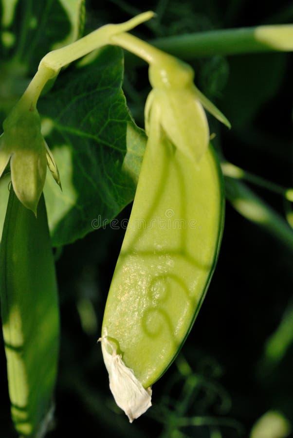 Eine Hülse von grünen Erbsen stockfotografie