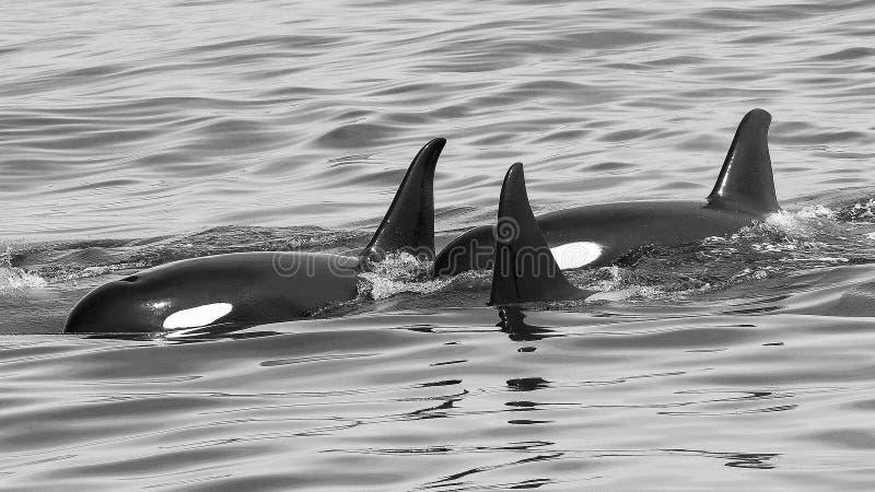 Eine Hülse von Killerwalen spielen zusammen in Süd- Mittel-Alaska lizenzfreie stockfotografie