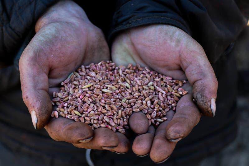 Eine Handvoll Korn in den schmutzigen Händen mit schwarzen Nägeln lizenzfreie stockbilder