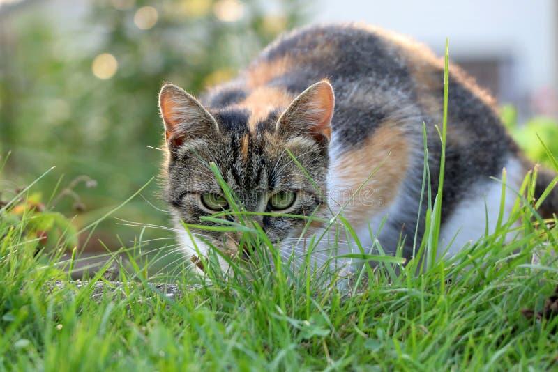 Eine Hauskatze, die im Gras sich versteckt und bereiten für Angriff gegen irgendein spezielles Insekt vor stockfotografie